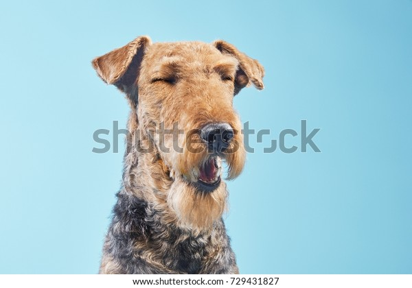 Airedale Terrier, Airedale,with closed eyes trying to sneeze, sleepy, bored, funny emotional dog isolated on blue studio background