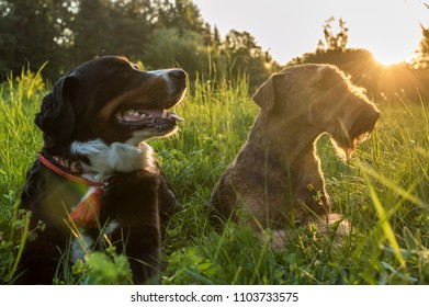 Airedale Terrier and Bernese Mountain Dog lie in the grass at sunset. doggystyle concept
