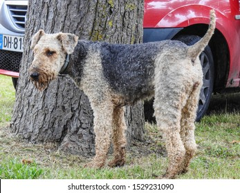 Airedale Terrier (Bingley, Waterside Terrier). Dog breed of the terrier type originating in the valley of the River Aire, West Riding of Yorkshire, England. It is the largest terrier breeds