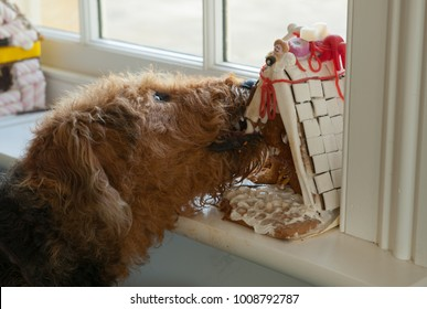 Airedale Terrier Dog Eating Cake in Rural Berkshire, England, UK