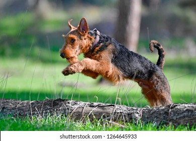 Airedale Terrier dog  jumping over the broken tree on the ground (puppy 11 month old).