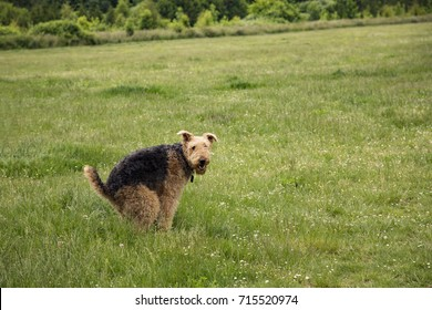 Airedale Terrier Dog at Park in Squatting Position, Shitting on Green Grass, Trees in Background