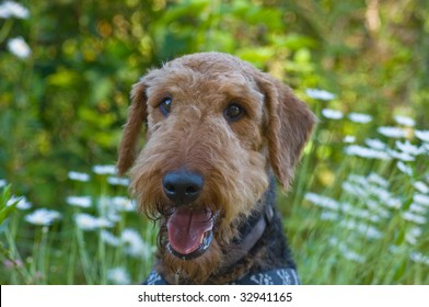 Airedale terrier dog posing in front of summer time backdrop of daisies
