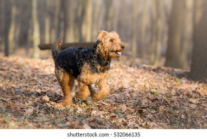 Airedale terrier dog in run