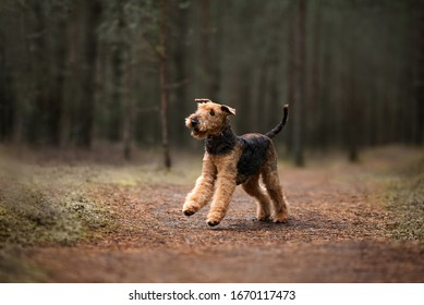 airedale terrier dog running in the forest