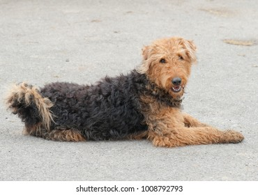 Airedale Terrier Dog in Rural Berkshire, England, UK