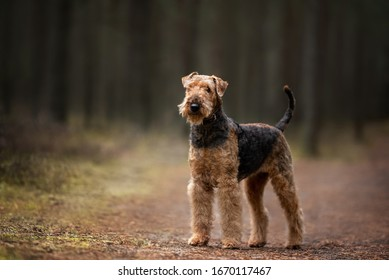 airedale terrier dog standing in the forest