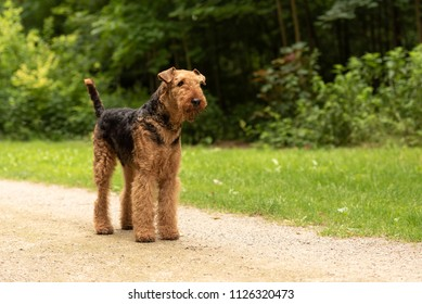 Airedale Terrier. Dog is standing on a path in forest and is obediently waiting.