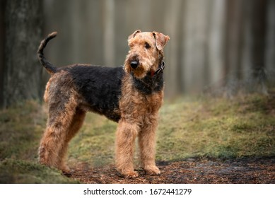 airedale terrier dog standing outdoors in the forest