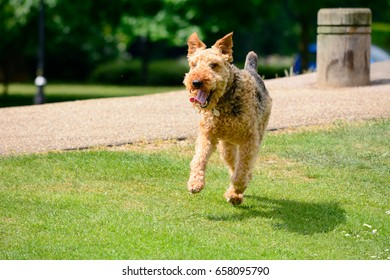 Airedale Terrier dog walking on grass