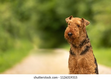 Airedale Terrier. Dogs portrait outdoors from green blurred background in the forest
