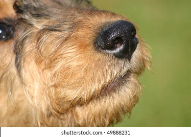 Airedale Terrier Puppy nose