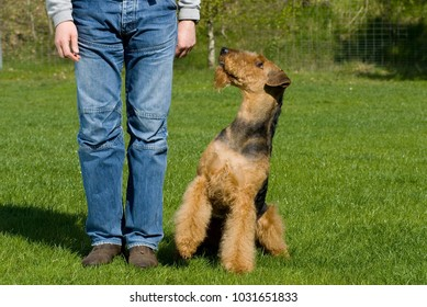 Airedale terrier sitting next to a man
