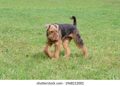 Airedale terrier is walking on a green grass in the summer park. Bingley terrier or waterside terrier. Pet animals. Purebred dog.