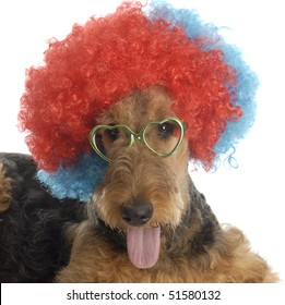 airedale terrier wearing colorful clown wig and heart shaped glasses on white background