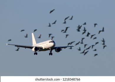Airliner landing with a flock of birds flying around