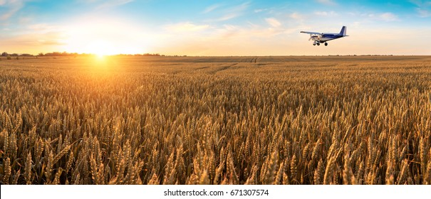Airplane flying above the golden wheat field and blue sky with picturesque clouds. Beautiful summer landscape. Treatment, watering and spraying of fields with pesticides. Crop protection from pests.