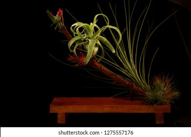 The airplants ikebana decoration. Tillandsia streptophylla settings on wooden branch.