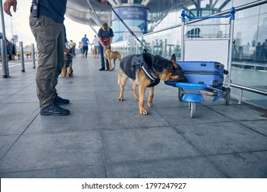 Airport security worker and German Shepherd dog searching for drugs in travel suitcase