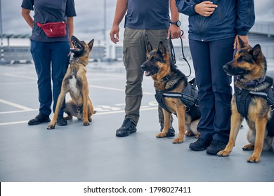 Airport security workers with two German Shepherd dogs and Malinois dog guarding territory