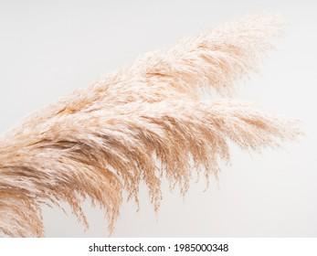 Arrière-plan botanique aéré avec pelouse de pampas moelleuse sur fond gris clair. Décor de l'intérieur dans un style boho