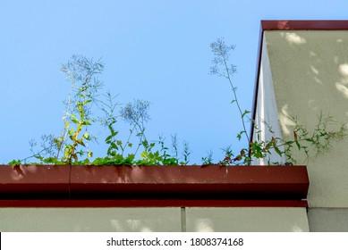 An airy garden growth in a clogged rain gutter.