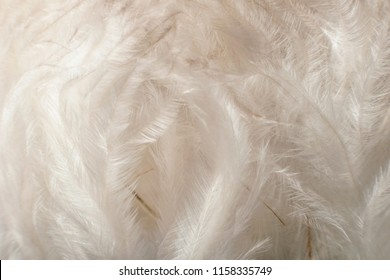 Airy soft fluffy down feathers background, soft focus. Natural texture background of bird detail down feathers.