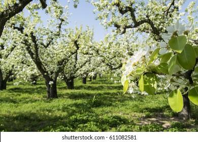 Aitona Fruit trees