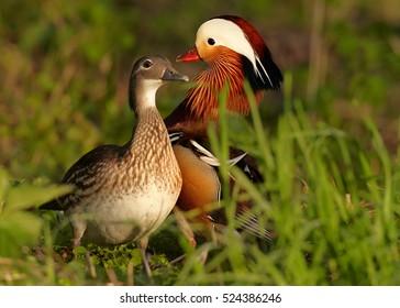 Aix galericulata, Mandarin duck. Pair of colorful ducks in spring. Europe, Czech republic.