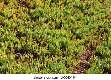 Aizoaceae, ice plants, carpet weeds