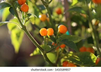 Aji Charapa, Charapita,Wild Peruvian Chili Pepper or Lost Incan Originating from the northern region of the Peruvian jungle. Rare species.