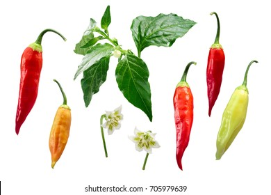 Aji Cristal pepper (Capsicum baccatum) plant, pods, flower, exploded view (elements). Clipping path for each element