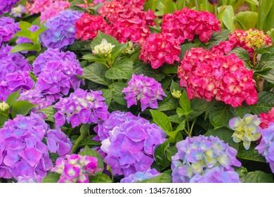 ajisai purple-red in the garden.