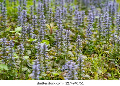 Ajuga plant, a traditional Chinese medicine herb