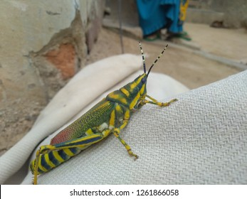 Ak Grasshopper from India. Ak Grasshopper, is one of the most colorful grasshoppers of India.