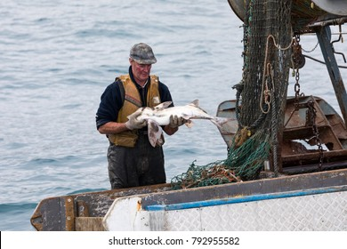 Akaroa, New Zealand - November 20 2017. A professional fisherman holding and elephant fish as he sorts through a net full of a variety of fish species in his small trawler boat