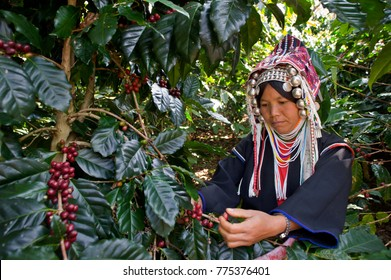 Akha woman harvesting coffee in north Thailand.