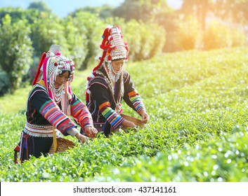 Akha Women from Thailand picking tea leaves on tea plantation at Chui Fong , Chiang Rai, Thailand.