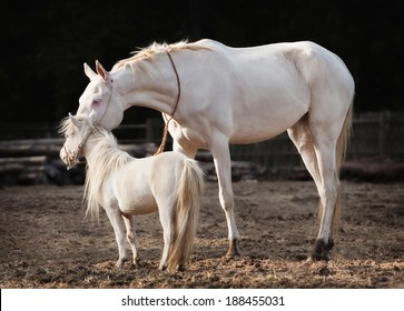 Akhal Teke mare and a stallion of american miniature horse breed