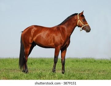 Akhalteke chestnut stallion