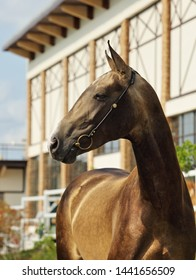 Akhal-Teke horses in a stud farm, Ashgabat, Turkmenistan