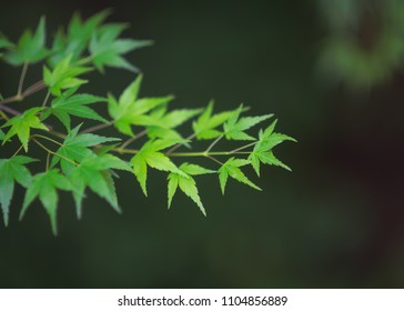 in the Akigawa Valley, a branch of maple with green vivid leaves, typical emblematic of Japan.