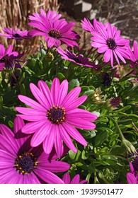 Akila African Daisies in Bloom