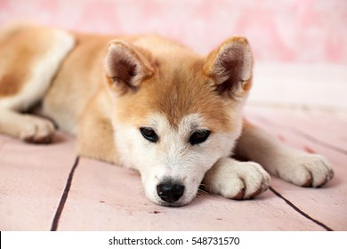 Akita Dog At Home On The Floor