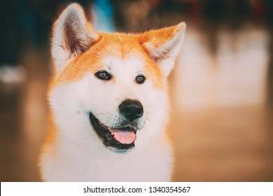 Akita Dog (Akita Inu, Japanese Akita) close up portrait on brown background