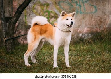 Akita Dog or Akita Inu, Japanese Akita Outdoor.