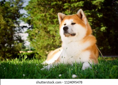 Akita dog is lying down in grass in the park in nature.