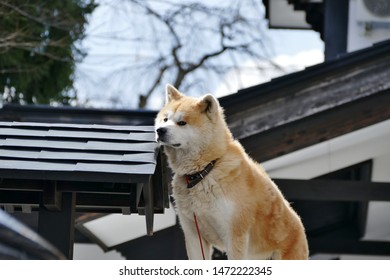 Akita Dog on a fence in the snow in Akita Prefecture Japan