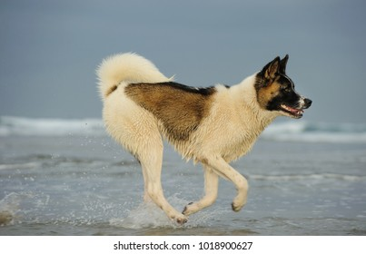 Akita dog outdoor portrait running on beach