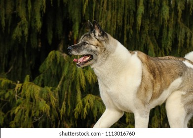 Akita dog outdoor portrait running against greenery